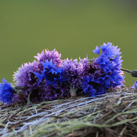 Cornflowers on the hay bale by Liina Kütt - Nature Up Close Other plants