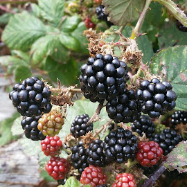 Ready to Pick by Candace Penney - Nature Up Close Gardens & Produce ( fruit, ripe, pick, blackberries, edible )