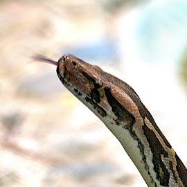 Snake World - 3 by Vijayanand Celluloids - Animals Reptiles ( reptiles, snake, snake face, reptile, snakes,  )