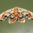 Hippy-shirt moth
