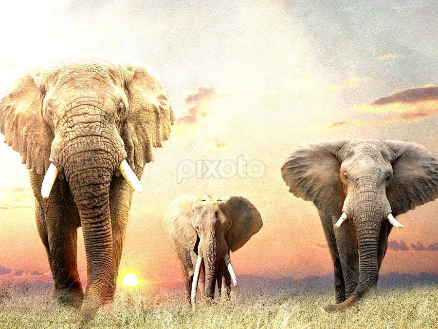 Big Boys by Bjørn Borge-Lunde - Digital Art Animals ( wild animal, elephants, animals, wilderness, nature, sunset, wildlife, africa )