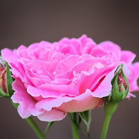 by Lena Arkell - Flowers Single Flower ( rose, rosebud, single, pink, buds, flower,  )