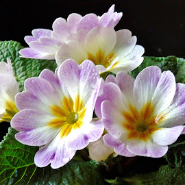PRIMULA by Wojtylak Maria - Flowers Single Flower ( arrangement, potflower, blooming, pink, primula, spring,  )