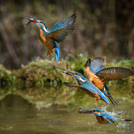 Kingfisher dive by Roberto Melotti - Animals Birds ( river kingfisher, roberto melotti, dive, nikon d810, eurasian kingfisher, prey fish, common kingfisher, plunge, bird, martin pescatore comune, alcedo atthis, dip, sequence, kingfisher, italy )