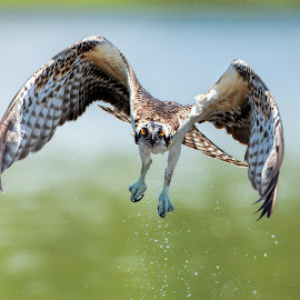 Juvenile Osprey by Dave Eppley - Animals Birds ( raptor, bird, osprey,  )