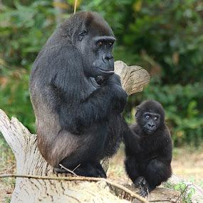 Femelle gorille et son petit by Gérard CHATENET - Animals Other Mammals
