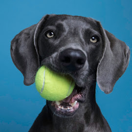 Weimy by Sarah Matula - Animals - Dogs Portraits ( weimaraner, blue, dog face, yellow, dog with ball, dog )