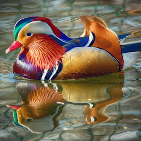 Mandarine duck by Jiri Cetkovsky - Animals Birds ( bird, zoo, color, duck, hodonin, animal )
