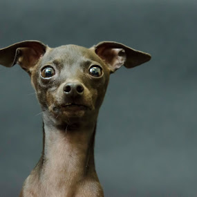 Mini Greyhound by Sarah Hauck - Animals - Dogs Portraits ( cute dog face, face, dog portrait, greyhound, excited )