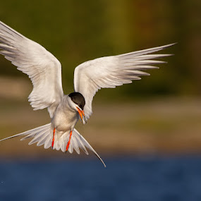 Angle pose by Phoo (mallardg500) Chan - Animals Birds ( forster's tern, tern )