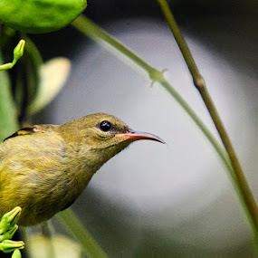 by Terence Lim - Animals Birds ( bird, look, nature, intense, wildlife, bokeh )
