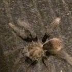 California brown tarantula