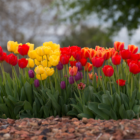 Beautiful tulips growing in a garden by Kathy Dee - Flowers Flower Gardens ( orange, red, botantical, purple, green, beautiful, growing, yellow, tulips, flowers, garden, spring )