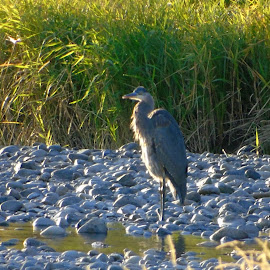 ALONE AT THE BEACH by Cynthia Dodd - Novices Only Wildlife ( water, animals, nature, grass, wildlife, rocks, birds, heron )