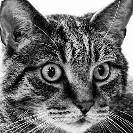 B&W Tabby Portrait  by Vicki Roebuck - Animals - Cats Portraits