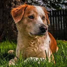 Maggie Chill'n by Matthew Bryce - Animals - Dogs Portraits ( collie, boarder, sharp, tree, yard, eye to eye, white, fur, brown, dog, femce, black, eye )