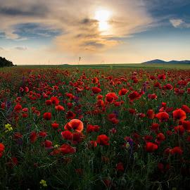 poppy field by Ghimpe Cristian - Landscapes Prairies, Meadows & Fields