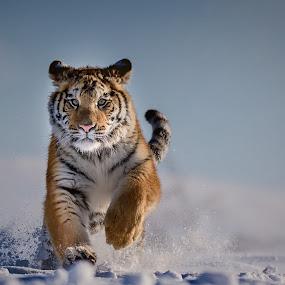 Feels like lunch by Jiri Cetkovsky - Animals Lions, Tigers & Big Cats ( tiger, snow, ussurian, lunch, run )