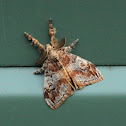 Painted Pine Moth