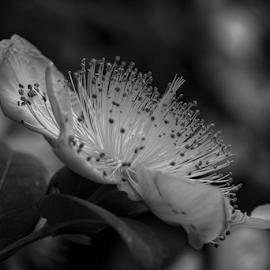 Bokeh  by Todd Reynolds - Black & White Flowers & Plants