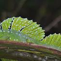 Basilisco esmeralda basilisco verde o basilisco de doble cresta