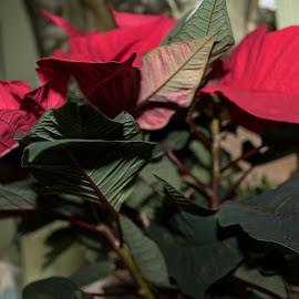 Poinsettia by Meeta Thakur - Flowers Flower Arangements ( red, beautiful, christmas, flower, colours )