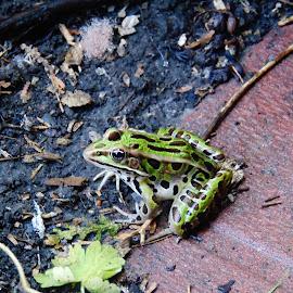 Frog by Prabasha Rasaputra - Novices Only Wildlife (  )