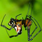 Pear-Shaped Leucauge Spider