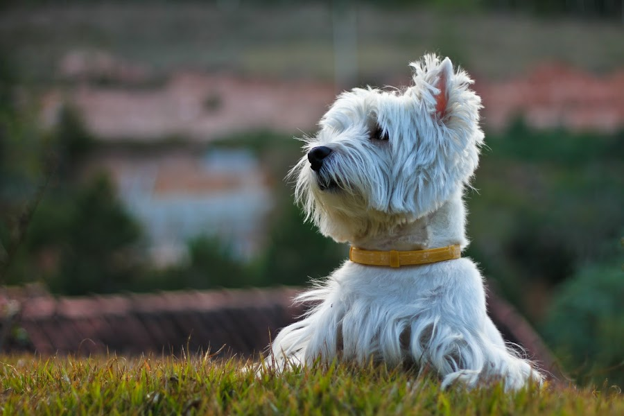 West Highland White Terrier - Eddie by Diego Pedrosa - Animals - Dogs Portraits