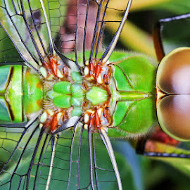 Dragonfly by Louis Pretorius - Animals Insects & Spiders
