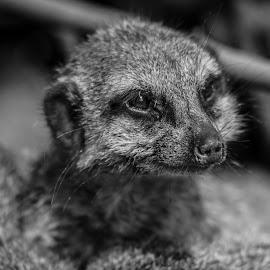 Meerkat by Jack Lewis McClure - Animals Other Mammals ( black and white, meerkats, meerkat, cute, close up )
