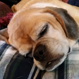 Tired by Riley Poeschl - Novices Only Pets ( puppy, beagle, lazy, dog, pug )
