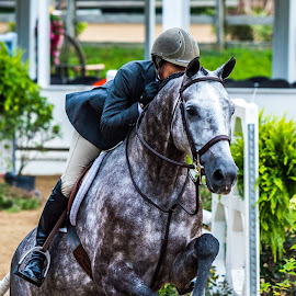 Nice Gray by Mike Watts - Animals Horses ( fence, jumping, riding, horse )
