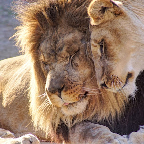 In a relationship by Joe Machuta - Animals Lions, Tigers & Big Cats