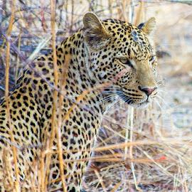 Leopard by Pankaj Brijlani - Animals Lions, Tigers & Big Cats ( cats, malawi, africa, leopard )