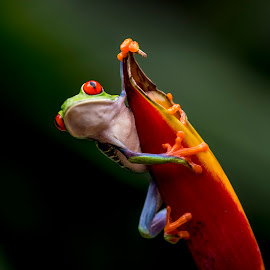 Red-eyed leaf frog.... by Stanley P. - Animals Amphibians