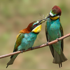 a small gift by Doina Russu - Animals Birds ( bird, gift, wedding, merops apiaster, offer, day, small )