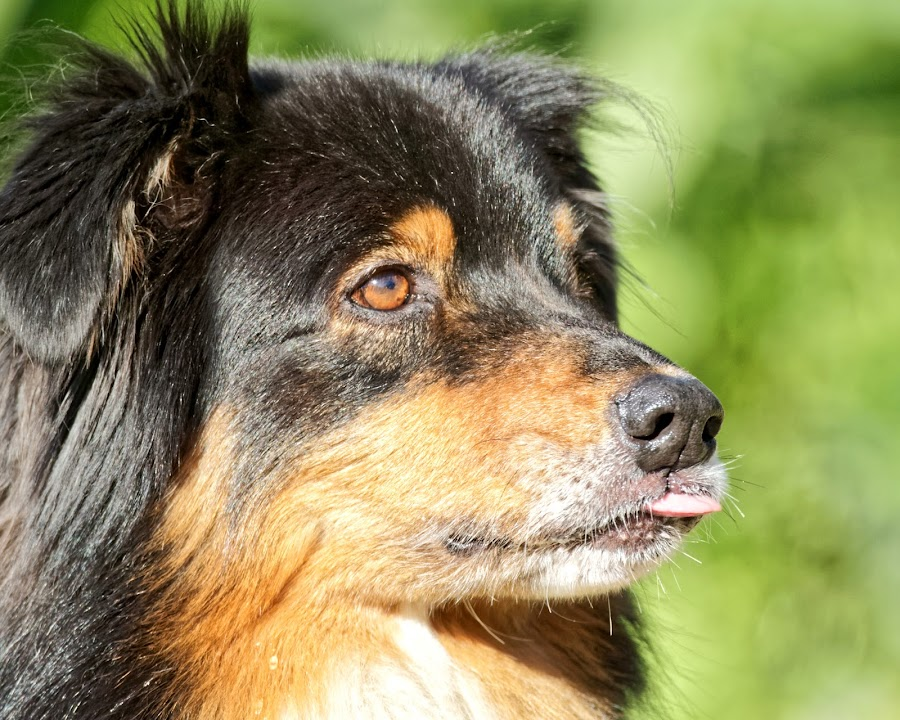 Dog 902 by Raphael RaCcoon - Animals - Dogs Portraits