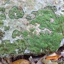 Black-edged Lichen