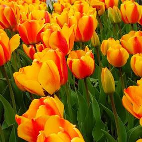 Tulips by Vijay Govender - Flowers Flower Gardens
