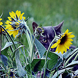 Harley and the Daisies by Carrie Cadenas - Animals - Cats Playing ( harley cat daisies )