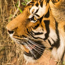 by Zibbies Du Toit - Animals Lions, Tigers & Big Cats