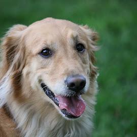 Happy Bella by Kavori Huffman - Animals - Dogs Portraits ( canine, retriever, dog, animal, golden retriever )