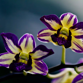 Dendrobium Orchid by Basuki Mangkusudharma - Nature Up Close Flowers - 2011-2013 ( orchid, dendrobium )