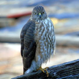 HAWK EYE by Cynthia Dodd - Novices Only Wildlife ( bird of prey, nature, hawks, wildlife, birds, hawk )