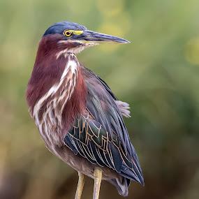 Little Green Heron by Shutter Bay Photography - Animals Birds ( bird of prey, nature, colorful, green heron, colors, birds,  )