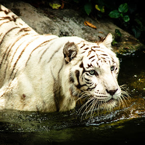 The white tiger by Valliappan Chellappan - Animals Lions, Tigers & Big Cats ( white tiger, zoo, tiger, fierce, hungry )