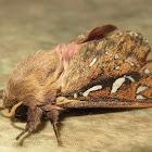 Porina moth