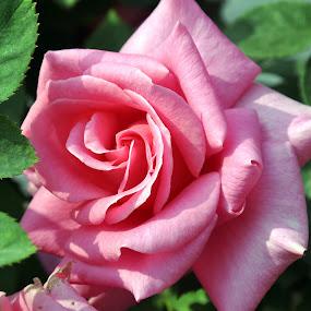 PINK ROSE SINGLE #3 by Debanjan Goswami - Flowers Single Flower (  )