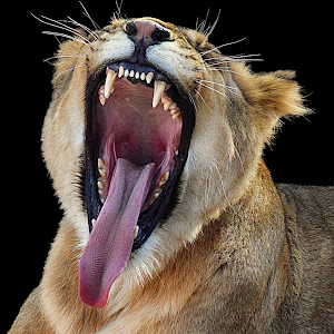Lion Dixie Yawn7 40% sharp final.jpg